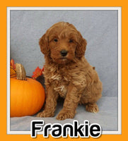 Frankie Male F1B Mini Goldendoodle $2995