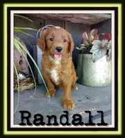 Randall Male F1B Mini Goldendoodle $3500