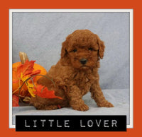 Little Lover Male F1B Mini Goldendoodle $3295
