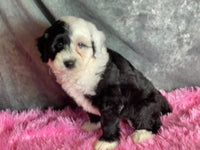 Cookie Female Mini Sheepadoodle $3800