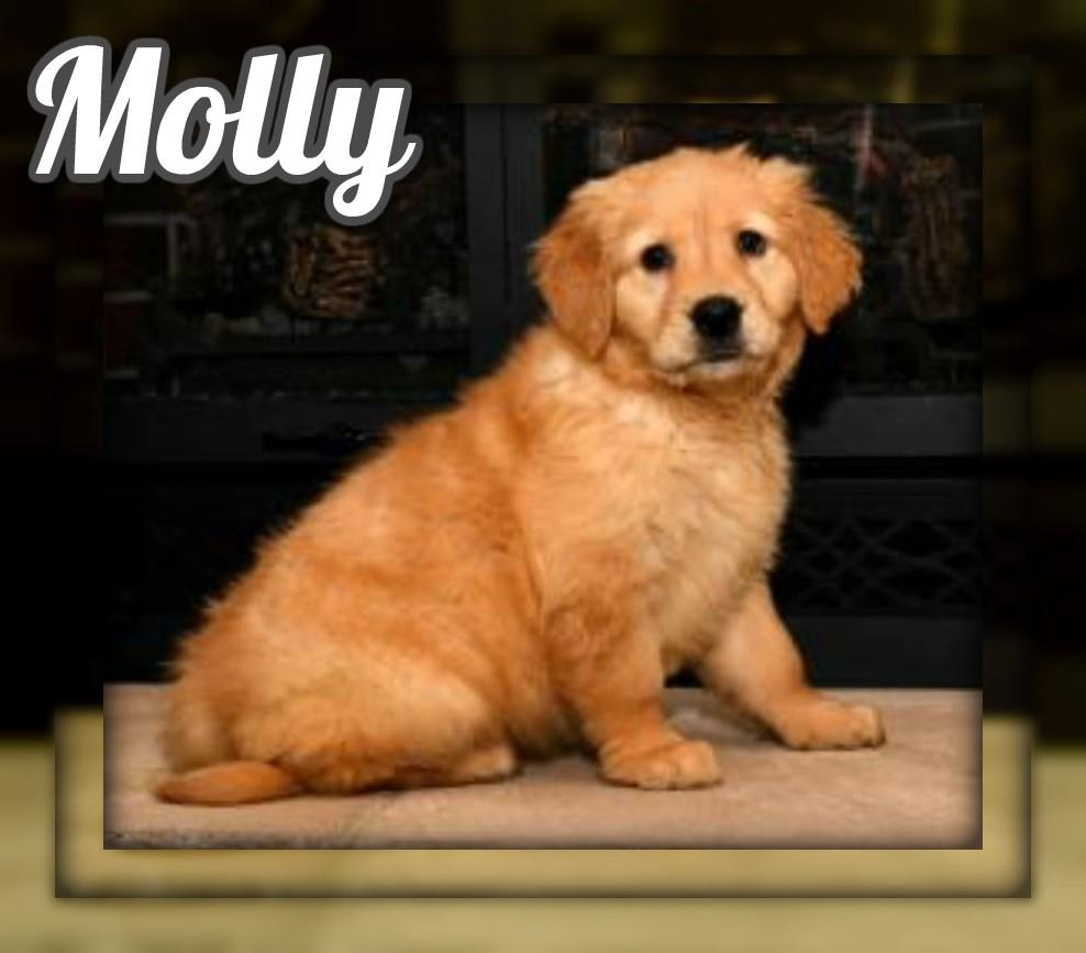 Molly AKC Female Golden Retriever $875