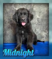 Midnight Male Newfoundland Mix (Full Price $600.00) Deposit