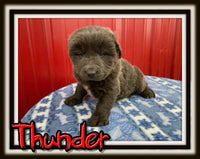 Thunder Male ACA Newfoundland $2200