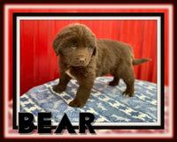 Bear Male ACA Newfoundland $2000