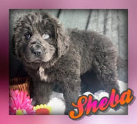 Sheba: Female Newfoundland (Full Price $800.00) Deposit