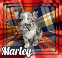 Marley Male Frenchton $2200