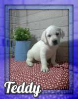 Teddy Male AKC Labrador Retriever $599