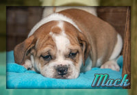 Mack Male Beabull (Full Price $800.00) Deposit