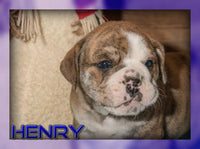 Henry Male Beabull (Full Price $400.00) Deposit