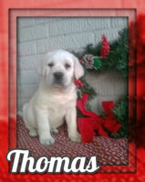 Thomas Male AKC Labrador Retriever $599