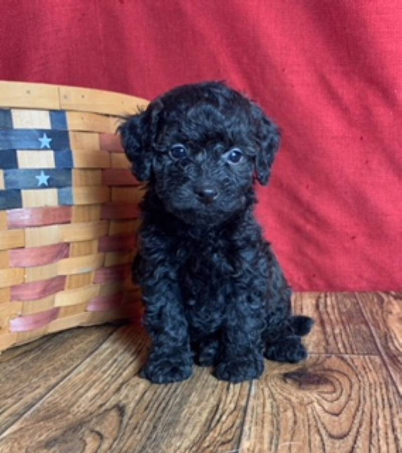 Standard Poodle Puppies For Sale | That Doggy in the Window
