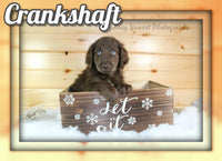 Crankshaft Male Aussiedoodle $900