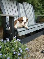 Jasper Male Oldde English Bulldog..  (Full Price $1050.00) Deposit