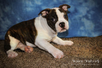 Charlie: Male Mini Bulldog (Full Price $599.00) Deposit