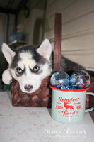 Pam Female Siberian Husky (Full Price $575.00) Deposit