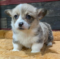 female pembroke welsh corgi puppy