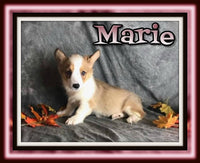 Marie Female Corgi $1250