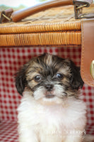 Pickle: Male ACA Shihtzu (Full Price $675) Deposit