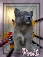Pollie Female Pomsky $2500