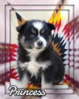 Princess Female Pomsky $2250