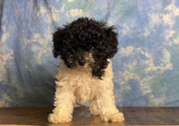 poochon puppies for sale near me