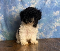 poochon for sale near me in ohio michigan pa ky florida new york