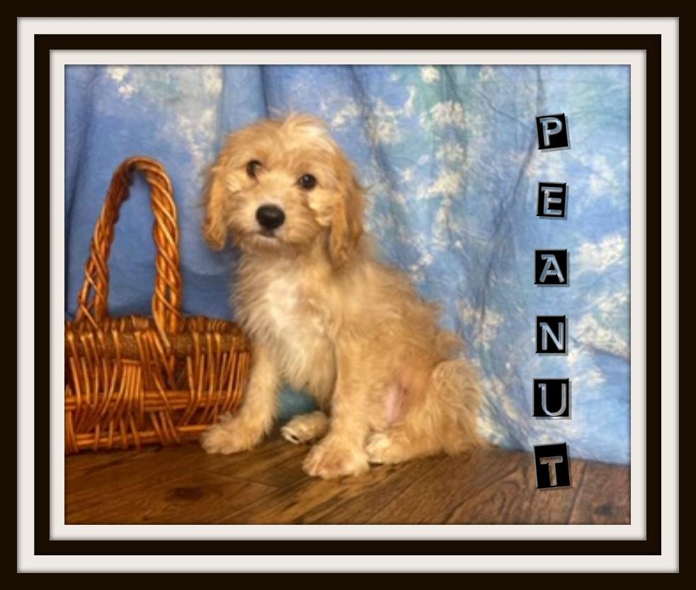 cavapoo puppies for sale near me