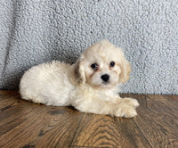 cavapoo female for sale near me