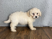 cavapoo for sale in northeast ohio
