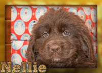 Nellie Female AKC Newfoundland (Full Price 999.00) Deposit