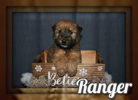 Ranger Male AKC Soft Coated Wheaten Terrier $1050