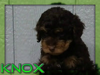 Knox Male Cavapoo (Full Price $1800.00) Deposit