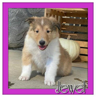 Jewel Female AKC Collie $1100