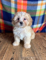 Female Shihpoo puppies for sale near me