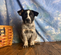 male blue heeler for sale near me