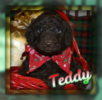 Teddy Male F1B Labradoodle (Full Price $950) Deposit