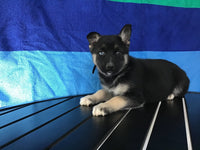 Courtney Female German Shepsky $1750