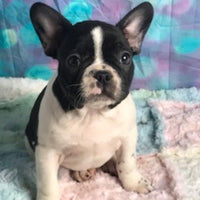 Rosco: Male Frenchton (Full Price $1199) Deposit