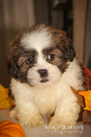 Radley: Male ACA Shihtzu (Full Price $675.00) Deposit
