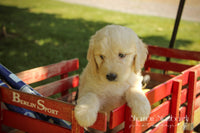 Rascal: Male Goldendoodle (Full Price $499.00) Deposit