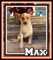 Max Male Red Heeler $400