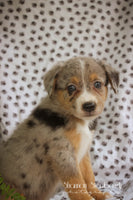 Aussie Poo puppies for sale