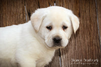 Roger:  Male Labrador Retriever (Full Price $999.00) Deposit