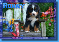 Ronny Male Bernese Mountain Dog AKC $850