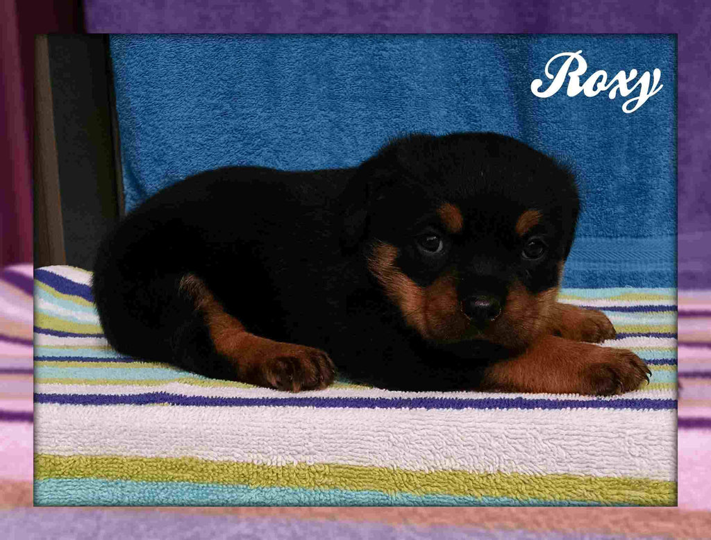Rottie for sale in Pittsburgh