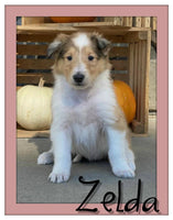 Zelda Female AKC Collie $1100