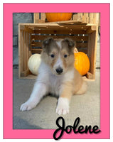 Jolene Female AKC Collie $1100