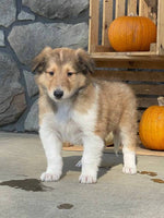 Puck AKC Male Collie $1100