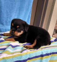 Roxy: Female AKC Rottweiler (Full Price $999.00) Deposit