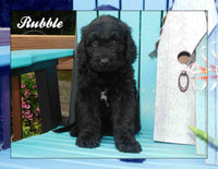 Rubble: Male Newfypoo (Full Price $1400.00) Deposit